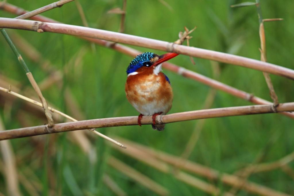 Auf dem Zambezi zwischen Namibia und Botswana reisebericht new namibia botswana afrika  tui berlin chobe princess sambesi queen eisvogel