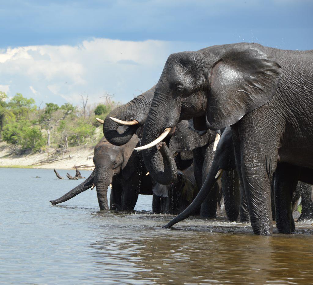 Auf dem Zambezi zwischen Namibia und Botswana reisebericht new namibia botswana afrika  tui berlin chobe princess sambesi queen trinkender elefant