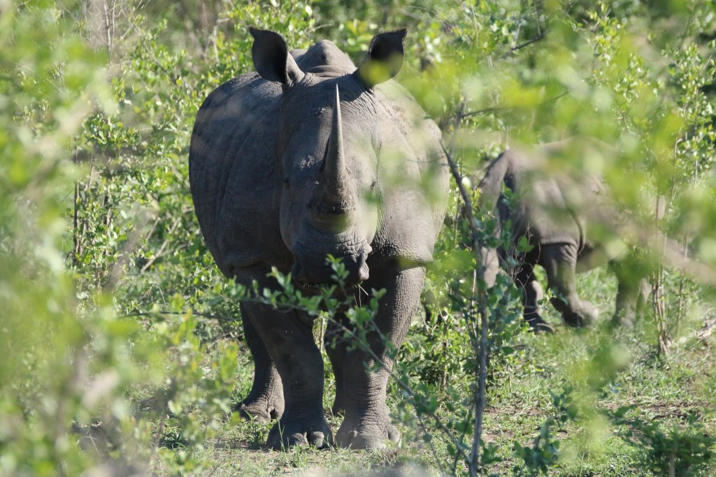 Erlebnisse im Krüger Nationalpark   Rhino Post Safari Lodge und Plains Camp uncategorized suedafrika sonne safari reisebericht new afrika  tui berlin rhino post safari lodge rhino