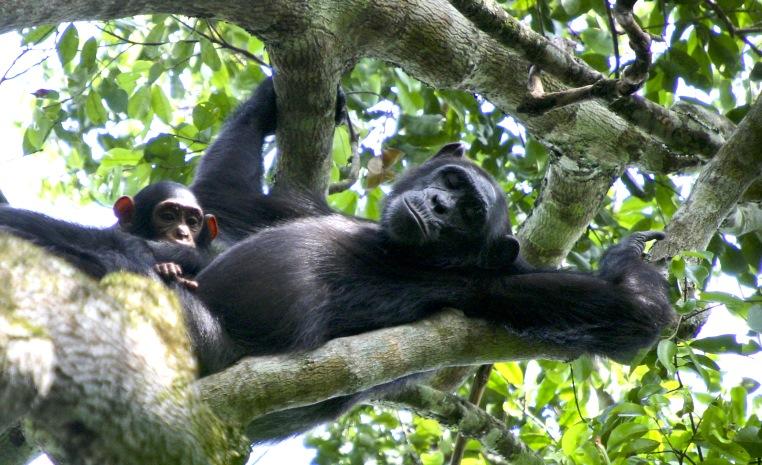 Uganda – auf den Spuren der Schimpansen und Berggorillas uganda sonne safari reisebericht new afrika  Chimps