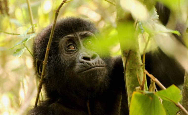 Uganda – auf den Spuren der Schimpansen und Berggorillas uganda sonne safari reisebericht new afrika  Gorillas 1 1