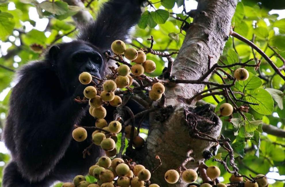 Uganda – auf den Spuren der Schimpansen und Berggorillas uganda sonne safari reisebericht new afrika  Schimpanse beim Essen