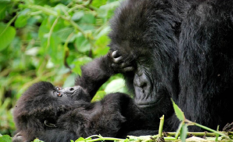 Uganda – auf den Spuren der Schimpansen und Berggorillas uganda sonne safari reisebericht new afrika  TUI Berlin Uganda Clouds Gorilla Lodge