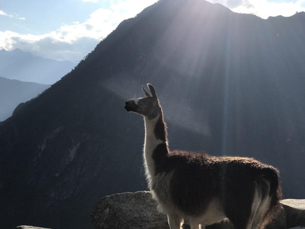 Höhepunkte Peru   eine perfekte Anden Rundreise uncategorized sonne land und leute reisebericht new karibik mittelamerika  tui berlin peru machu picchu lama 2