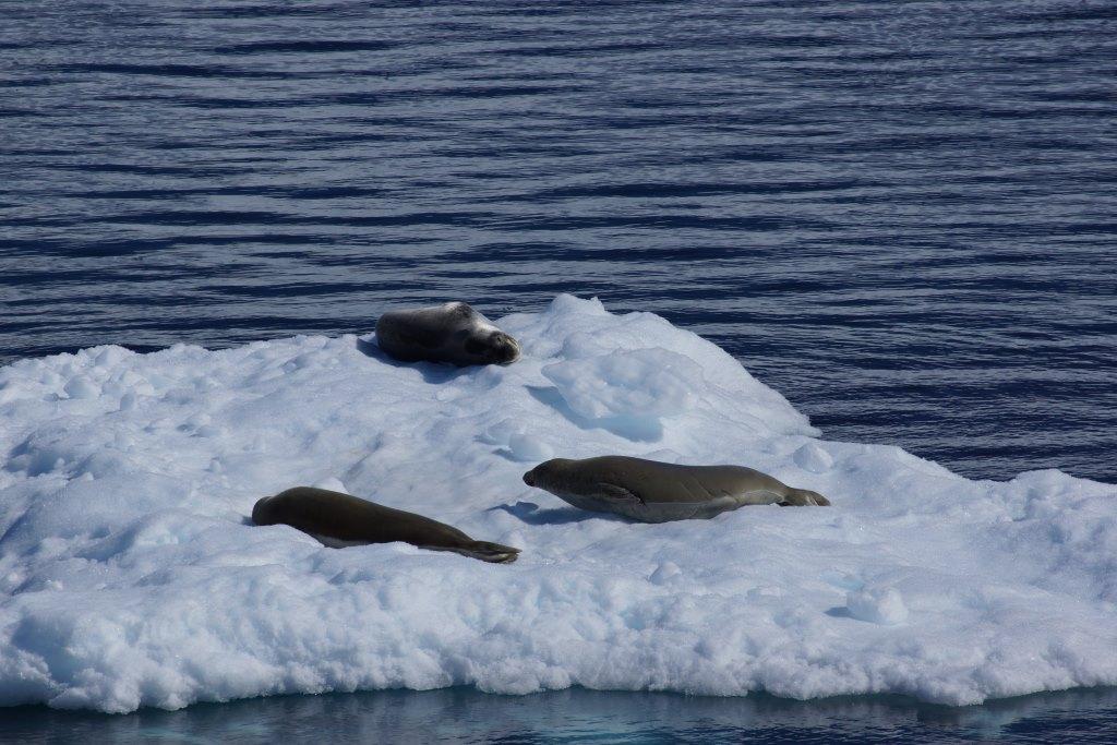 Robben in der Antarktis - World of TUI Berlin Reisebericht