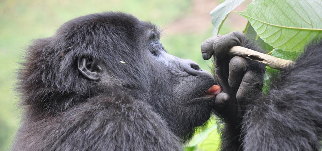 Gorilla Trekking in Uganda   unser Besuch bei den sanften Riesen uganda sonne safari reisebericht new afrika  tui berlin uganda gorilla trekking 12345 1