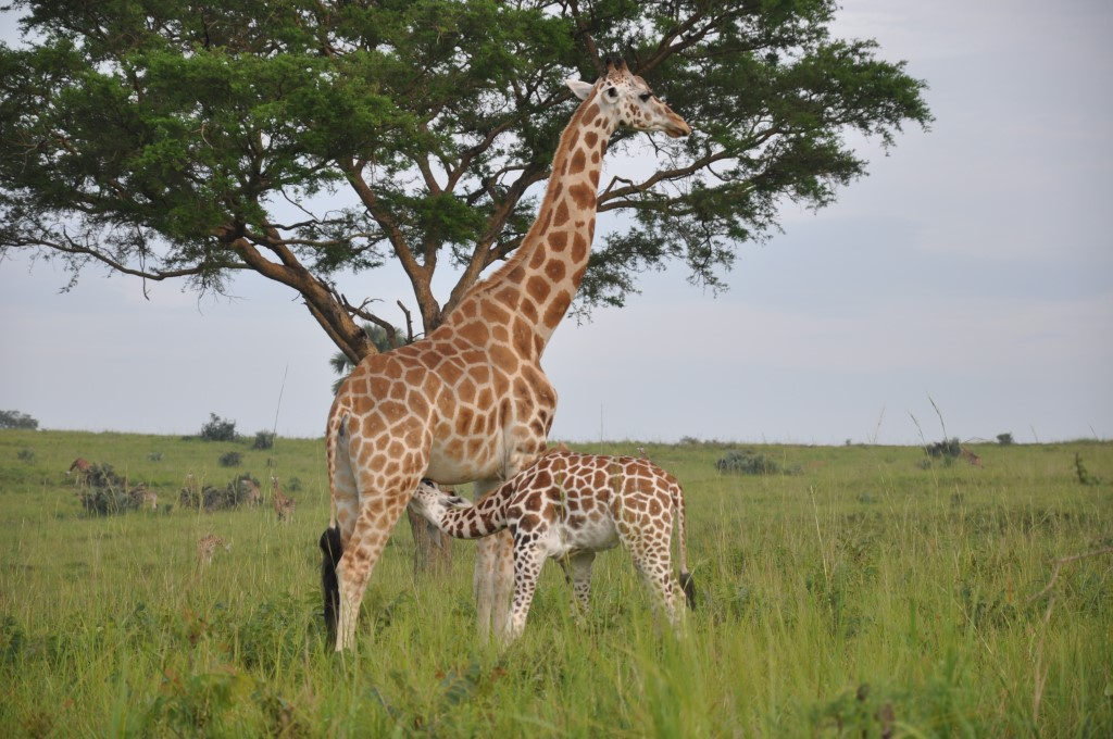 Giraffen in Uganda - World of TUI Berlin Reisebericht