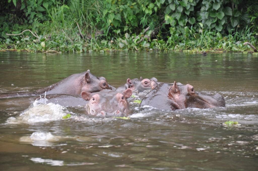 Gorilla Trekking in Uganda   unser Besuch bei den sanften Riesen uganda sonne safari reisebericht new afrika  tui berlin uganda hippos
