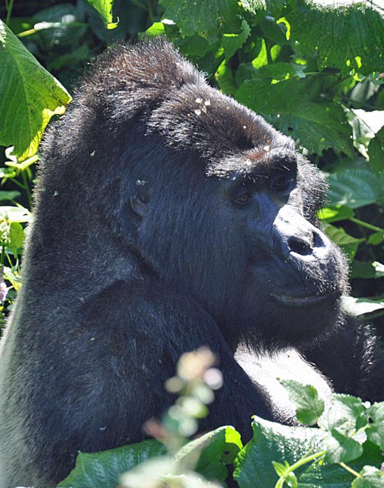 TUI, Berlin, Reisebuero, Gorilla, Trekking, Uganda
