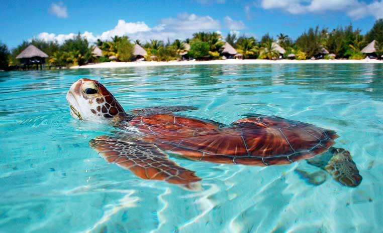 Tui Berlin Le Meridien Bora Bora Schildkroete World Of Tui
