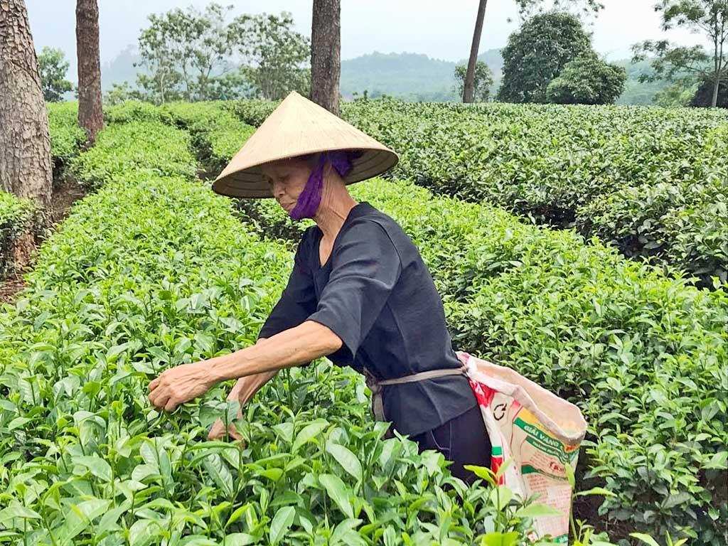 Unterwegs durch Vietnam   Meine kulinarische Reise von Nord nach Süd vietnam reisebericht new  Teeplantage Umland Hanoi Teepflückerin 1024x768