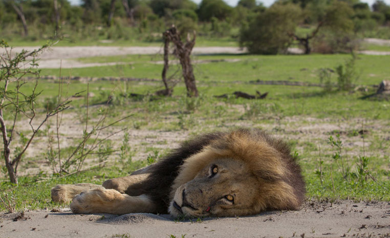 Der Monat des Löwen   Wilderness Safaris sonne safari individuelle rundreisen expertentipps afrika  Chitabe   Lion 3 1