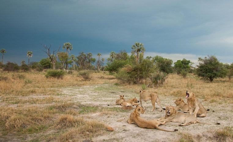 Der Monat des Löwen   Wilderness Safaris sonne safari individuelle rundreisen expertentipps afrika  Chitabe   Lions 2