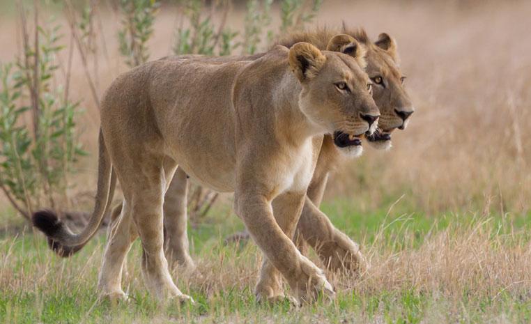 Der Monat des Löwen   Wilderness Safaris sonne safari individuelle rundreisen expertentipps afrika  Chitabe   Lions 4