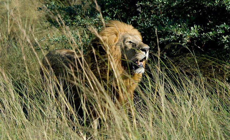 TUI, Reisebüro Berlin, Safari, Afrika, Löwen, lion conservation, Monat des Löwen, Wilderness Safaris, Artenschutz, Lion Recovery Fund, Tierschutz, airtours Private Travel