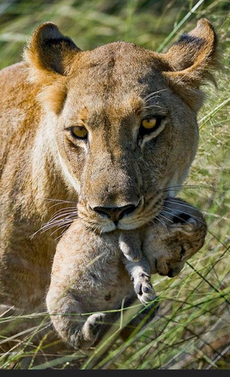 Der Monat des Löwen   Wilderness Safaris sonne safari individuelle rundreisen expertentipps afrika  NAS519