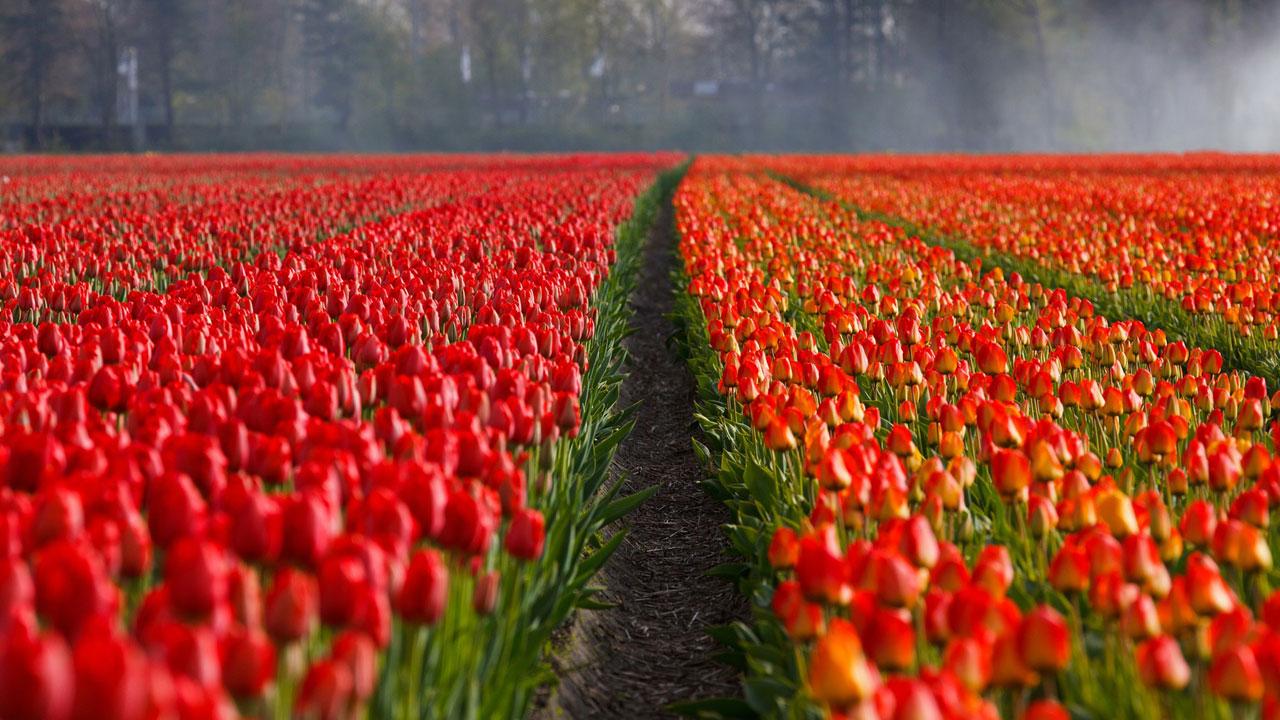 Tulpenwiese Niederlande