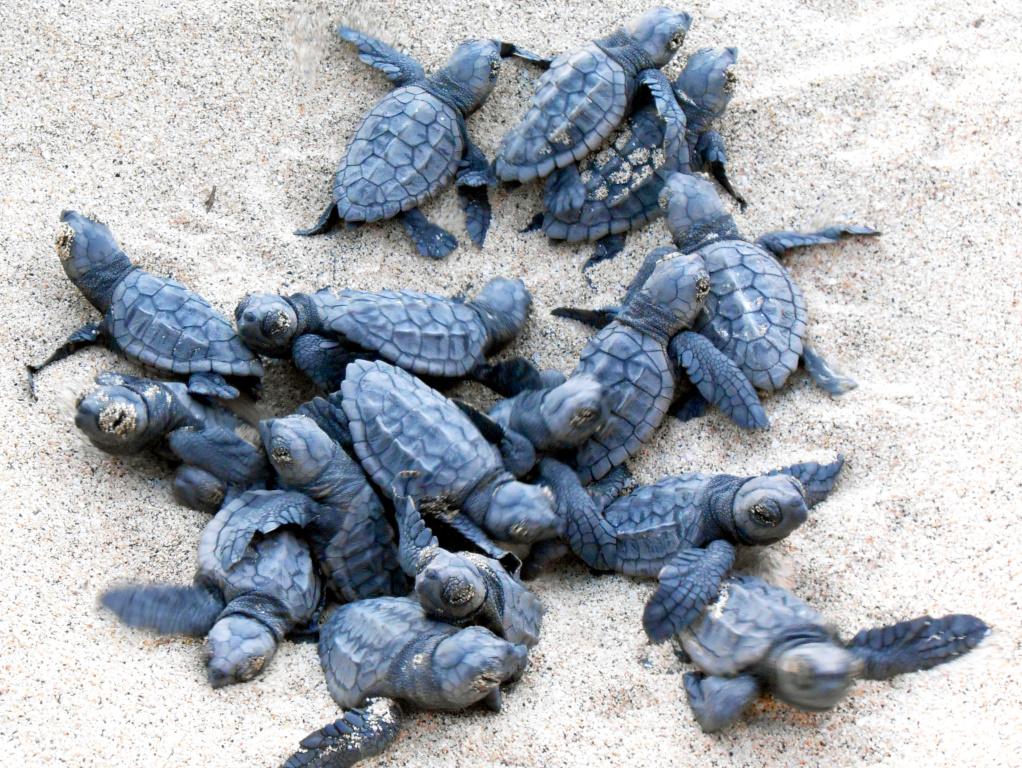Baby-Schildkröten auf den kapverden