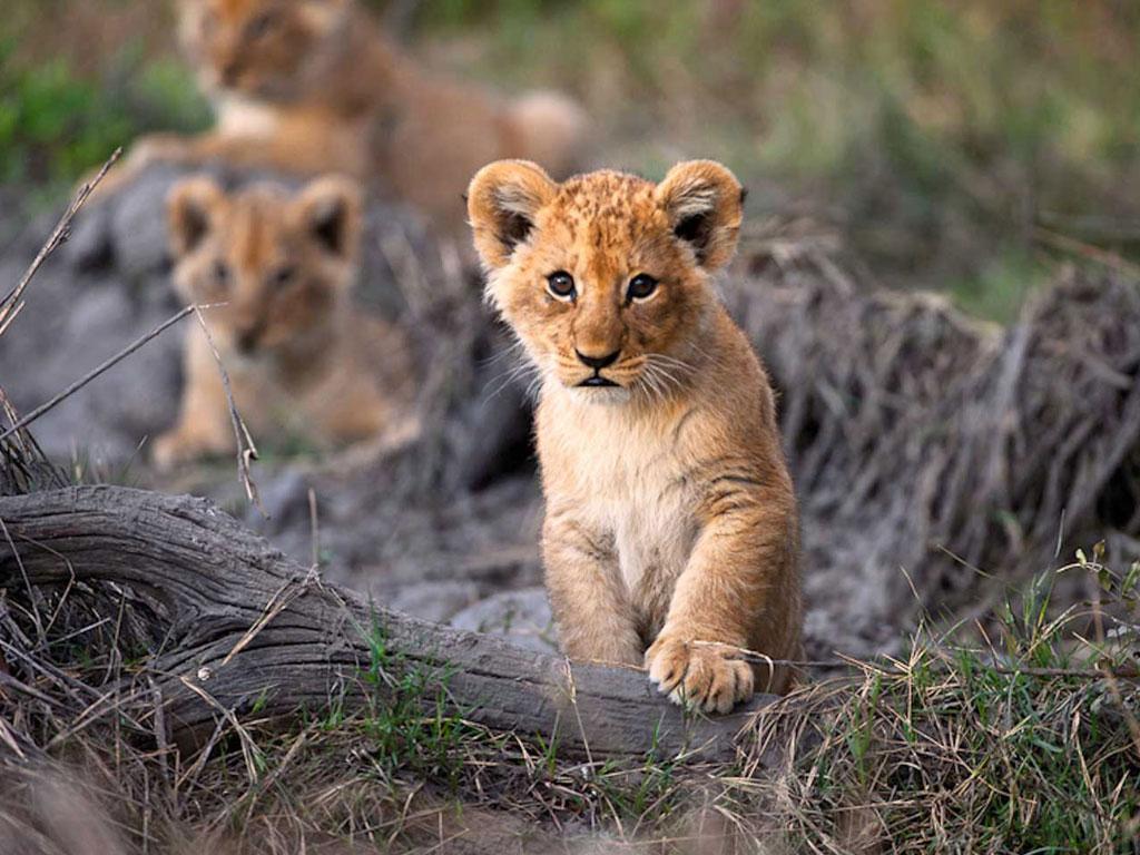 Löwenbaby in der afrikanischen Wildnis