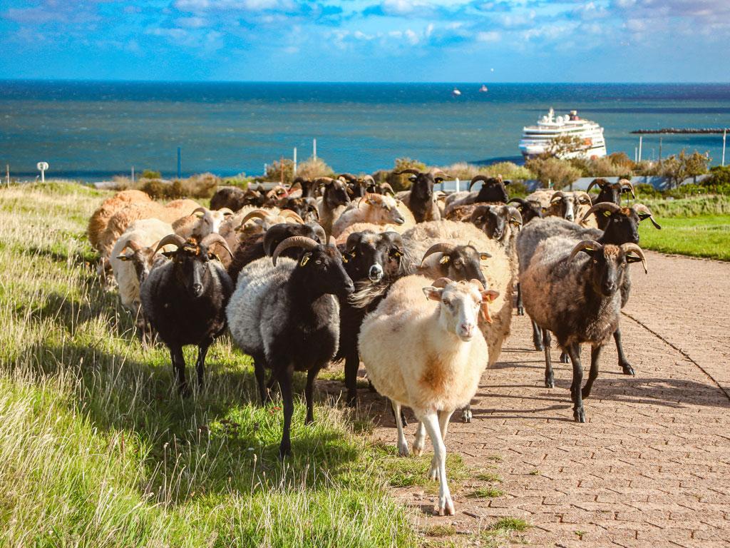 Schafsherde auf Helgoland