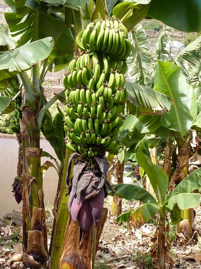 Teneriffa und La Gomera europa  Bananenstaude1