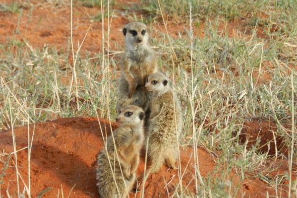 Rainbow Nation Südafrika suedafrika staedtereisen sonne safari afrika  Erdmännchen