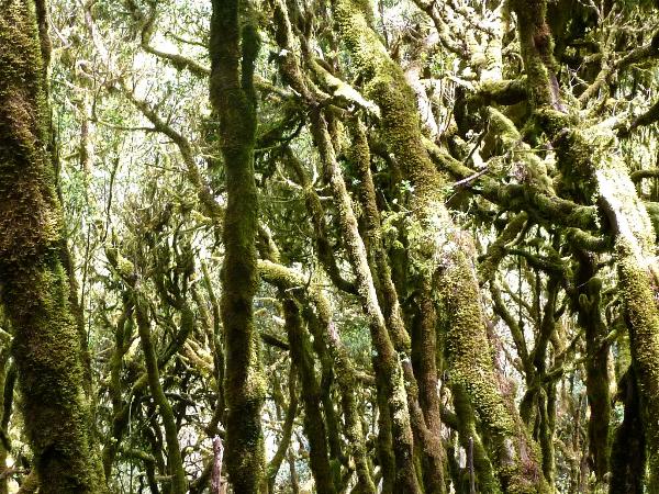 Teneriffa und La Gomera europa  Gomeras Wald1