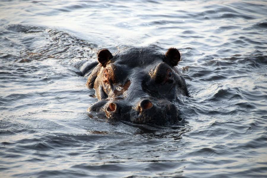 Mit Gebeco von Namibia über den Chobe National Park zu den Viktoriafällen sonne simbabwe safari land und leute namibia botswana afrika  bot hippo1 1