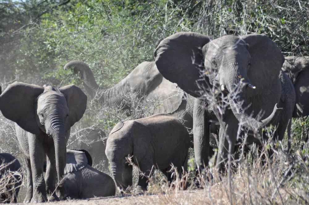 Singita Lebombo & Sweni Lodges suedafrika sonne safari afrika  elefanten1