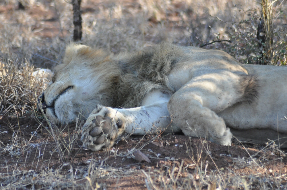 Singita Lebombo & Sweni Lodges suedafrika sonne safari afrika  lowe