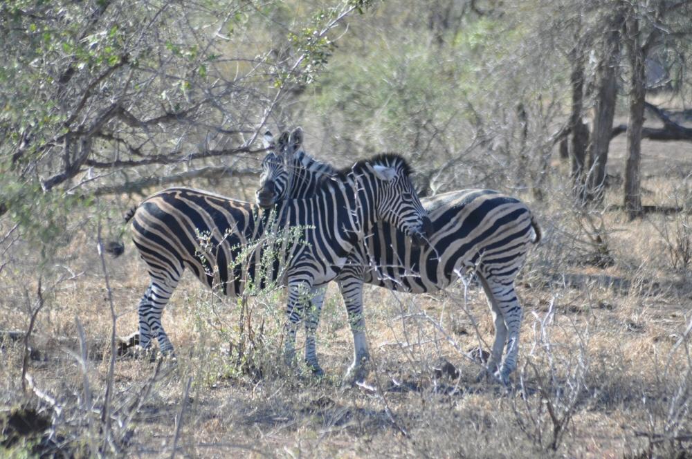 Singita Lebombo & Sweni Lodges suedafrika sonne safari afrika  zebrajpg